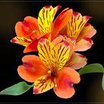 Inkalilie  (Alstroemeria)