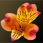 Inkalilie (Alstroemeria cultivars )