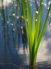 Innehalten am Teich - Junge Triebe einer Rohrkolbenpflanze