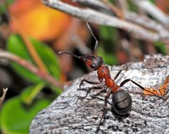 Innehalten, kurz vor dem Winter!  - Une fourmi exploratrice.