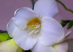 Innen einer Blume III Dentro de una Flor III
