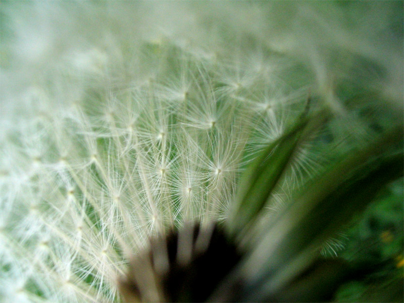 Innenansichten einer Pusteblume