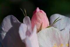 Innenleben einer Heckenrosenblüte