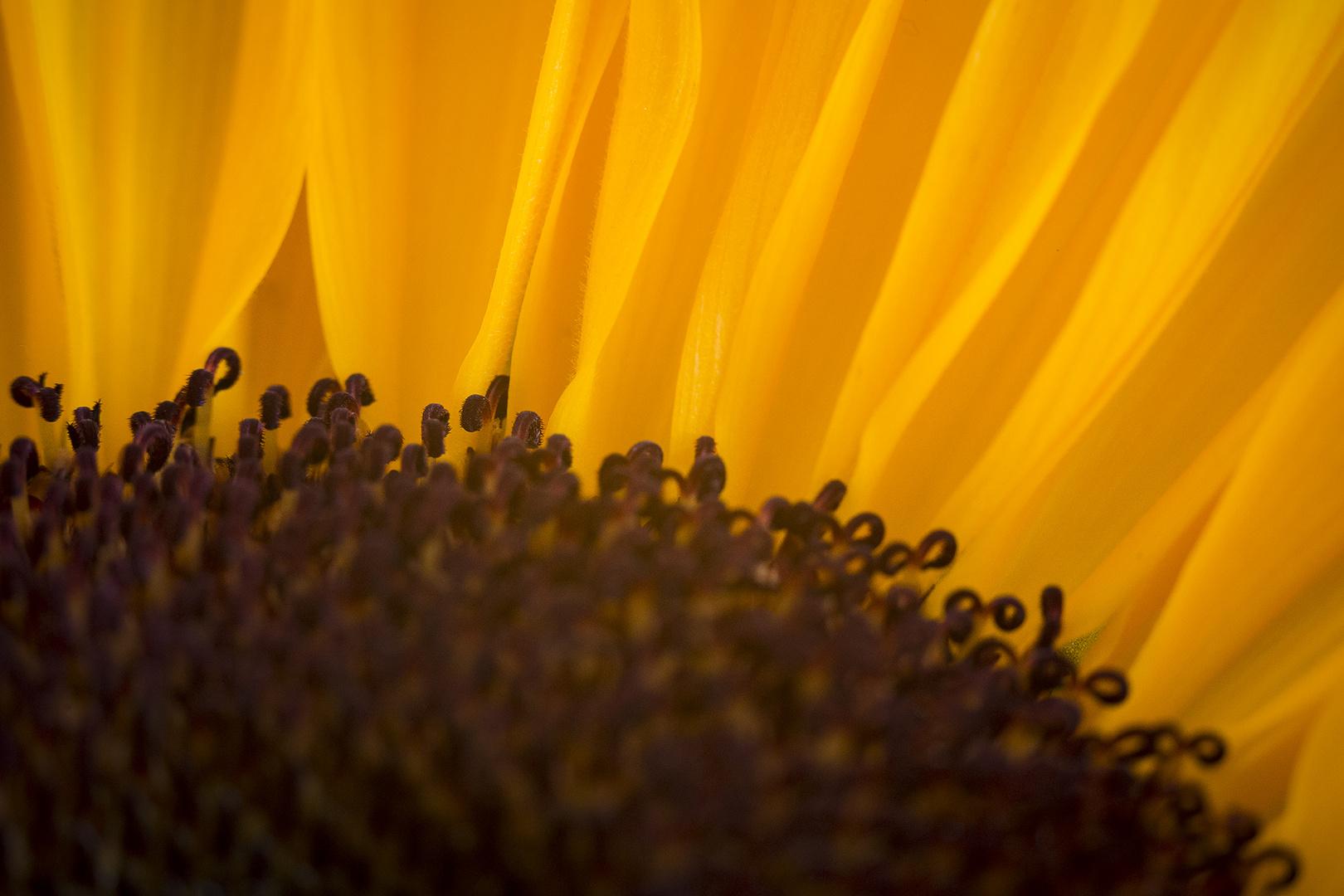 Innenleben einer Sonnenblume