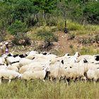 Inner Mongolia Shepherd