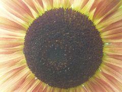 Inneres der Sonnenblume