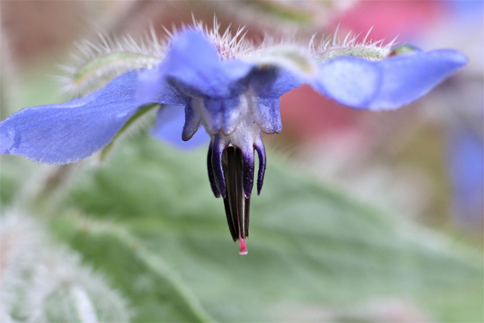 Inneres einer Borretsch-Blüte