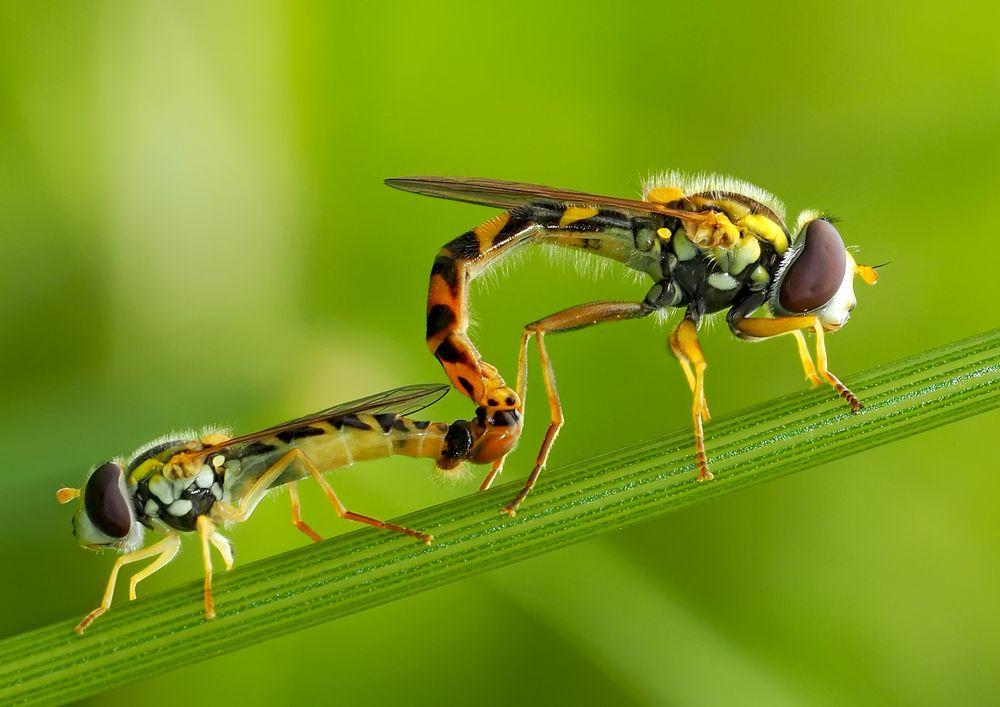 Innige Gemeinsamkeit! - Gewöhnliche Langbauchschwebfliegen (Sphaerophoria scripta). *