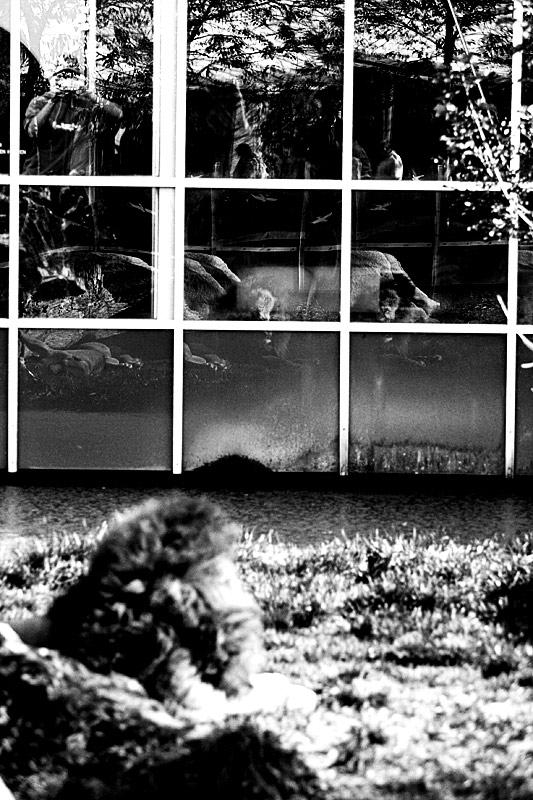 * innovative löwen-im-zoo-photographie *