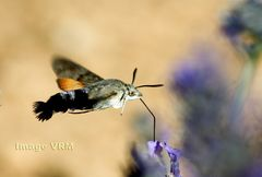 Insect de Provence