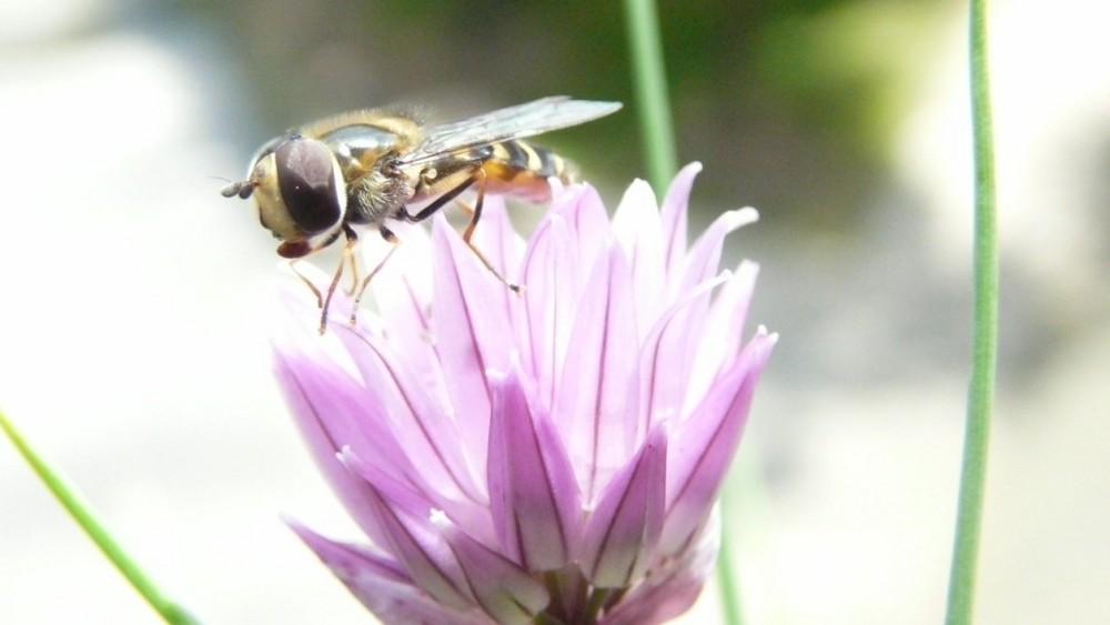 insecte sur ciboulette