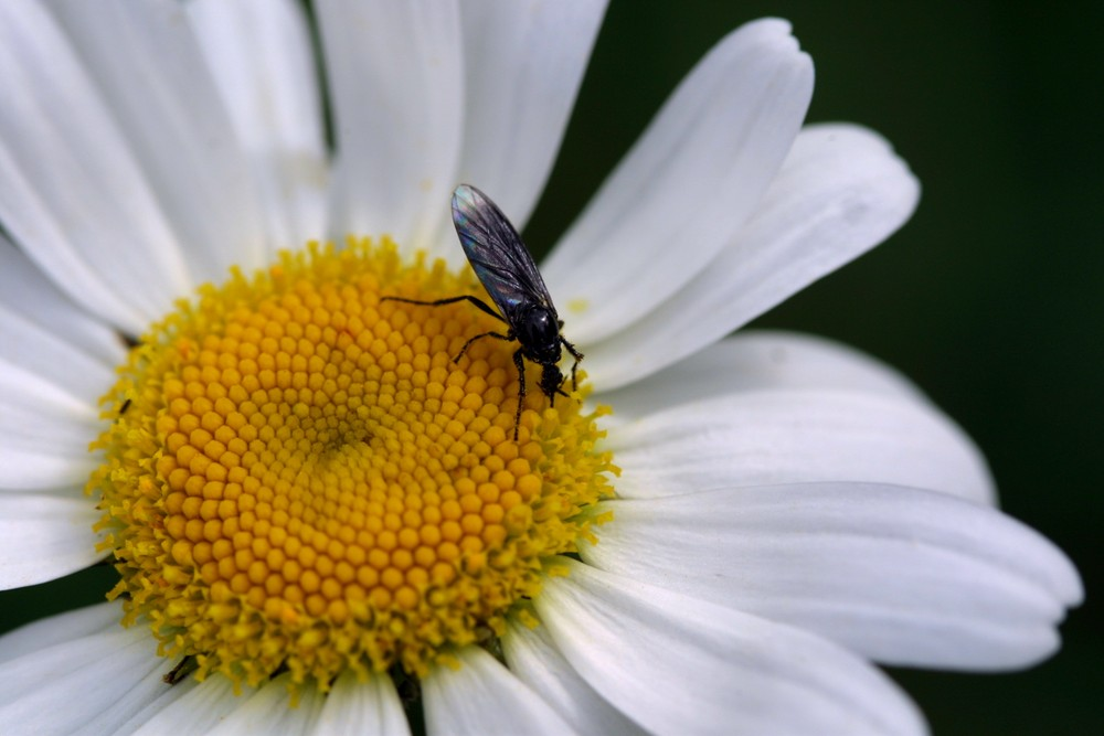 Insekt auf Gänseblümchen