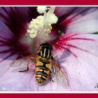 Insekt auf Hibiskus