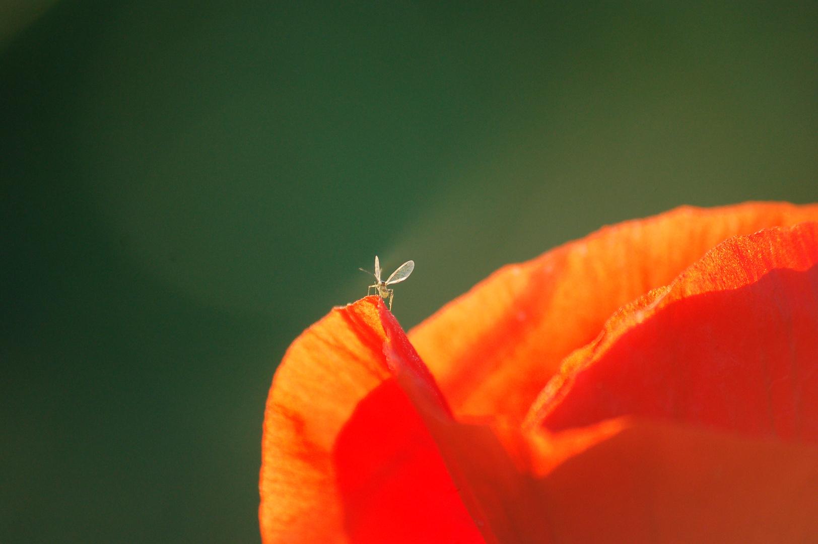 Insekt auf Mohnblüte