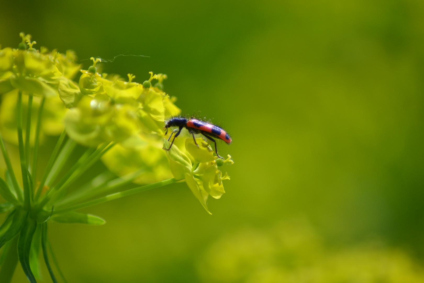 Insekt auf Zypressenwolfsmilch