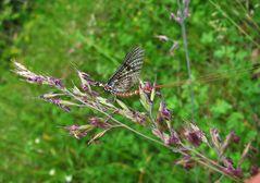 Insekt des Jahres Eintagsfliege