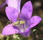 Insekt in einer kleinen Glockenblume