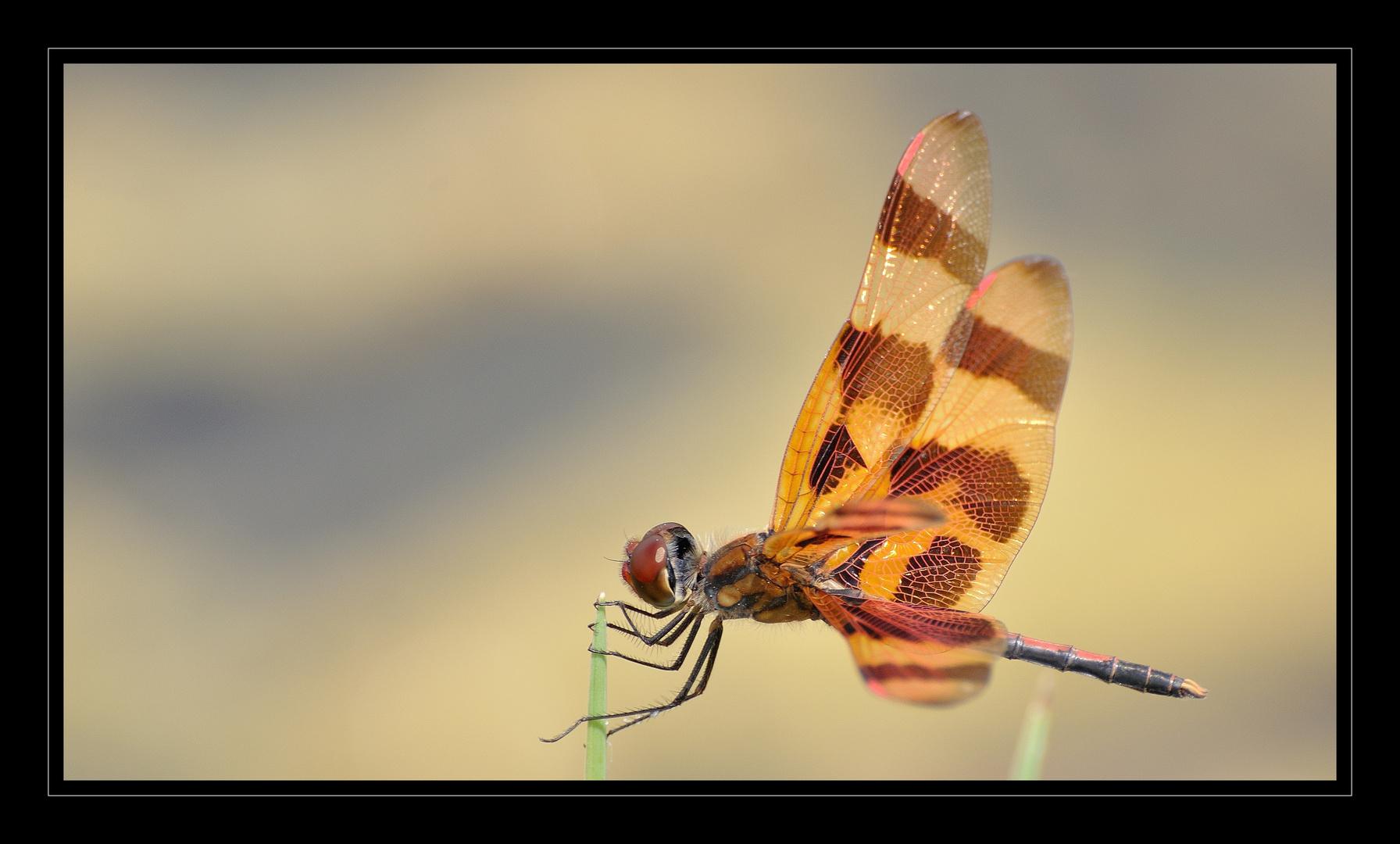 Insekt - Libelle ?