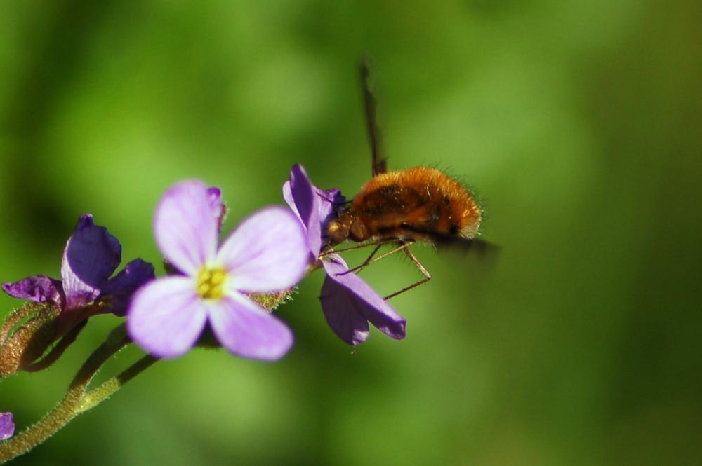 insekt mit langem r ssel foto bild tiere wildlife