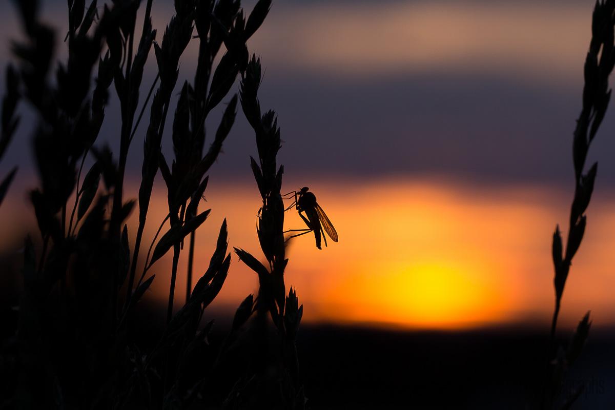 Insekt mit Sonnenuntergang
