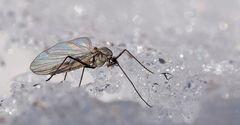 Insekten, hier eine Wintermücke, im Schnee... - Insecte en hiver dans la neige.