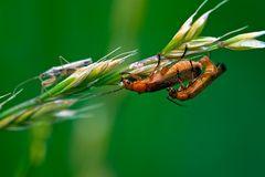 Insektenkamasutra