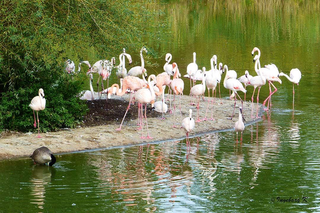 Insel der Flamingos - Zoom Gelsenkirchen
