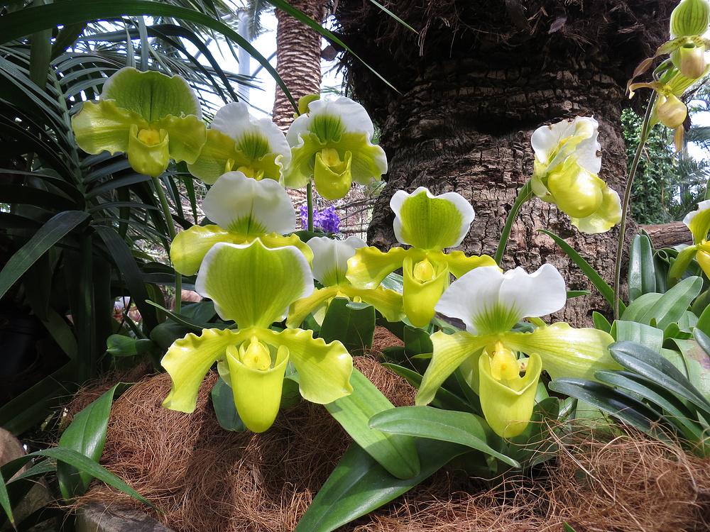 Insel Mainau / Frauenschuh Orchidee 1