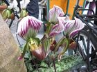 Insel Mainau / Frauenschuh Orchideen 5