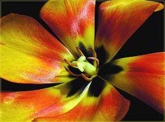 Inside Tulipa Aldii