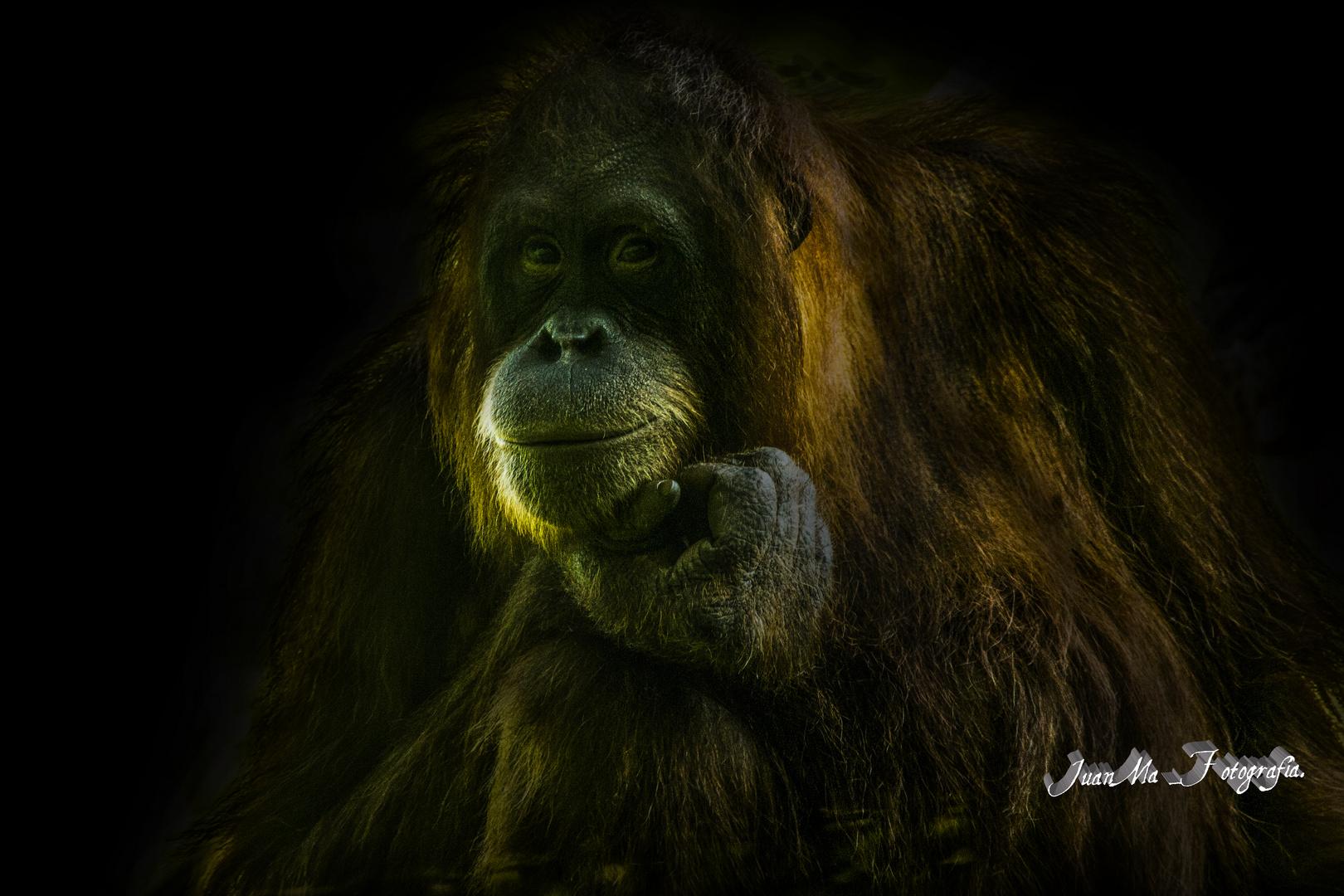 Inteligencia animal: Orangután.