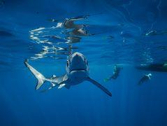 Interaktion mit dem Blauhai