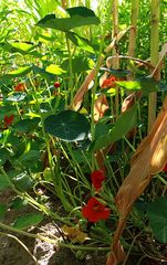 Intercropping-Systems