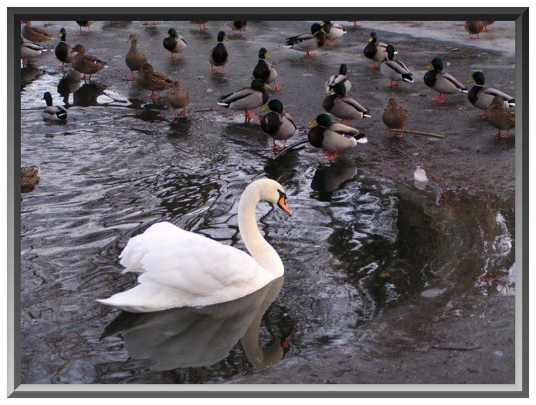 Invasion der Enten