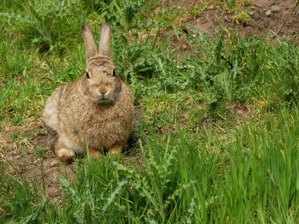 Inverness Kaninchen