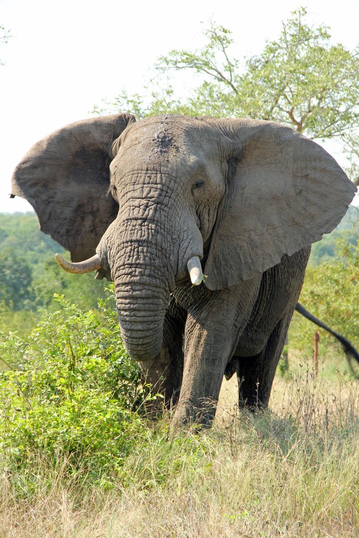 Inyati - Elefant