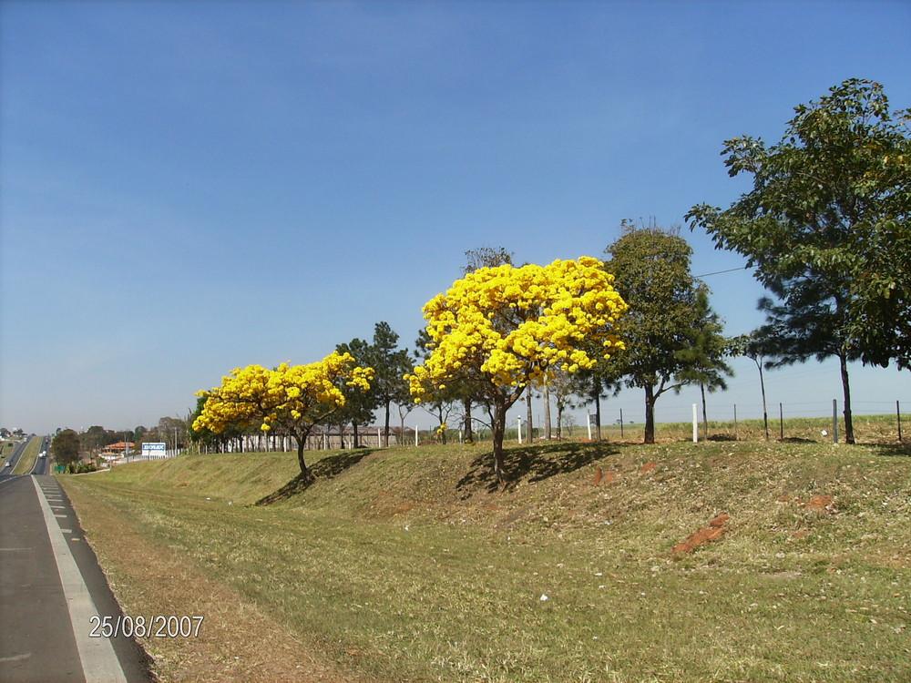 Ipê amarelo in Brasile