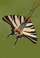 Iphhiclides podalirius (Papilionidae)