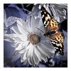 IR- Butterfly