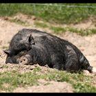 Irgendwann ist auch ein Schwein Hundemüde..