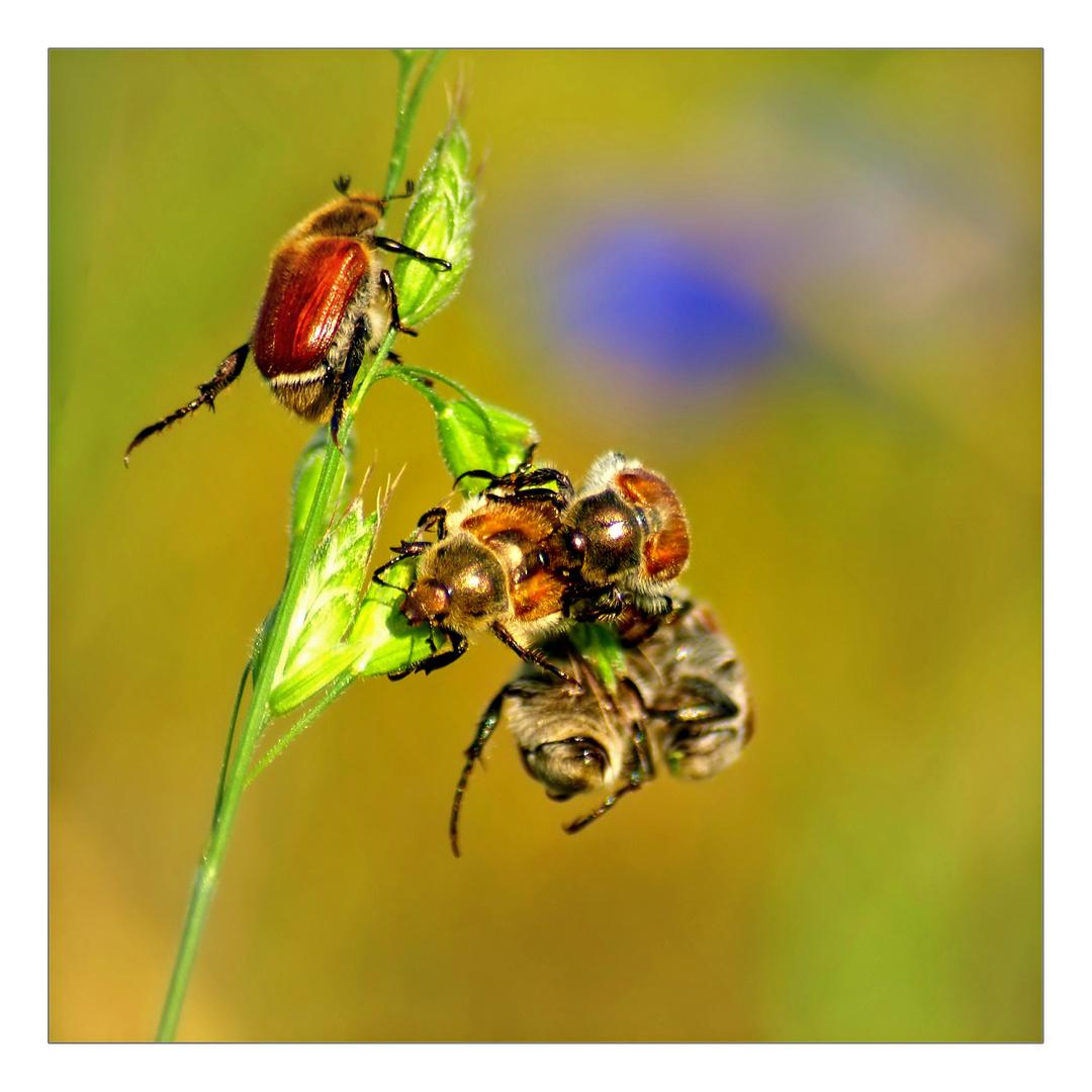 irgendwelche coleoptera, kopulierend