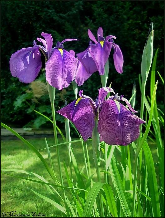 *Iris*