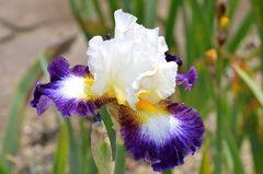 * Iris *