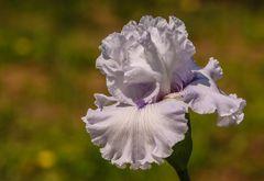 iris 8