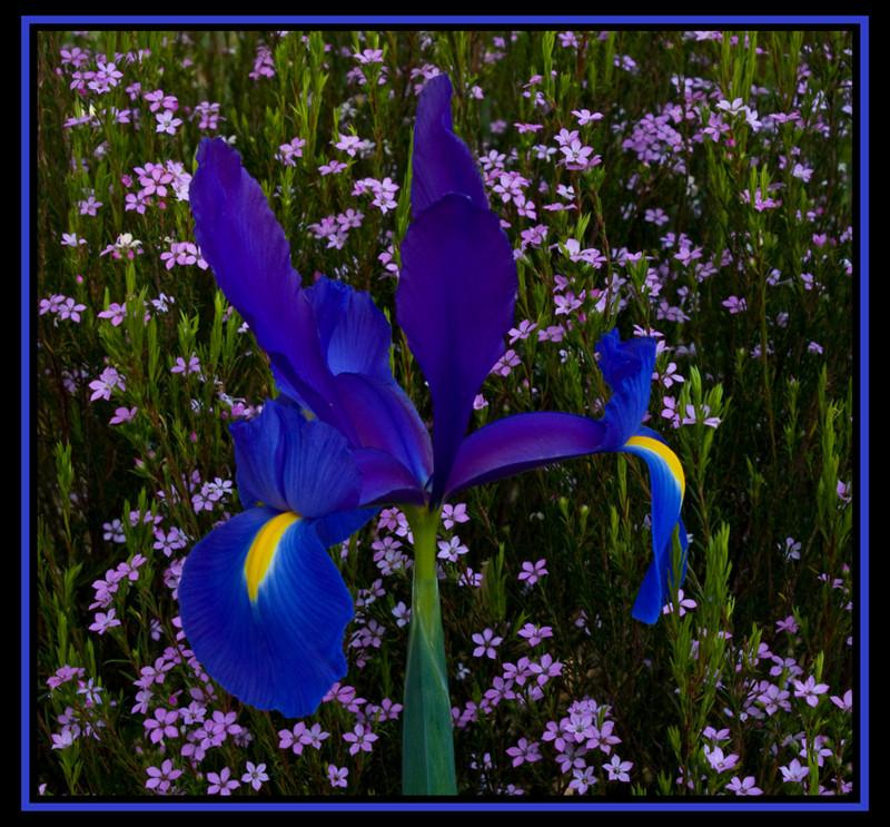 Iris and pink flowering shrub
