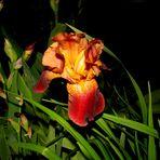 Iris barbata - Bartiris - rot