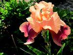 Iris barbata-eliator,,Carnaby,,...