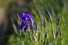 Iris blau am Rande der Stromberge