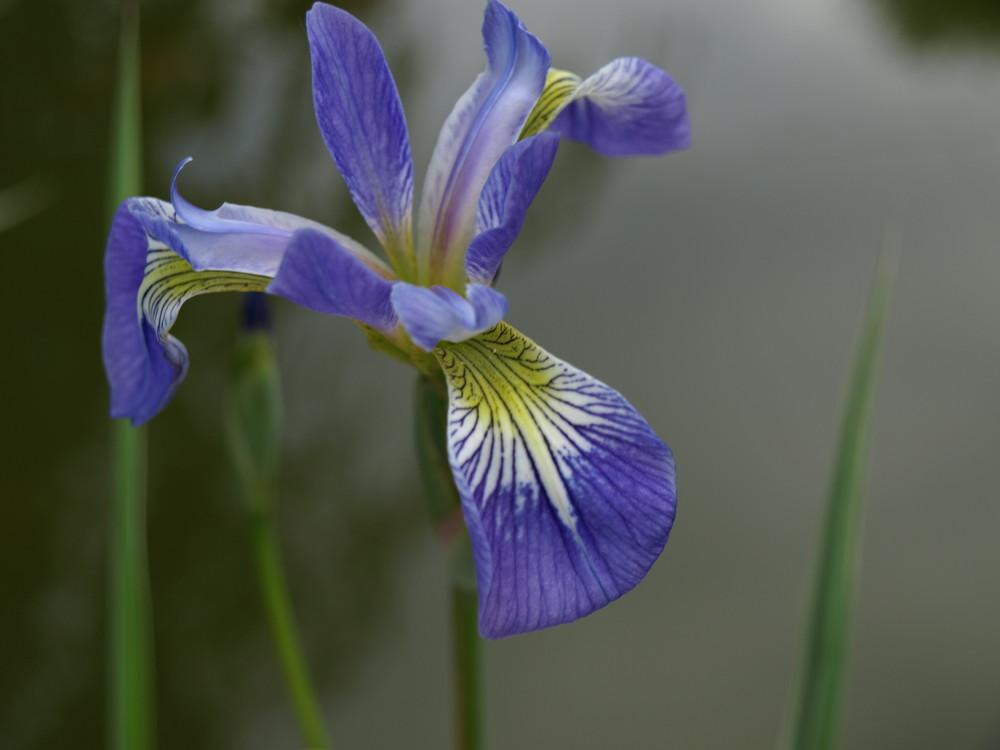 Iris bleu des marais