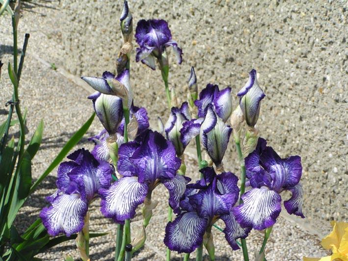 Iris Circus-Stripes